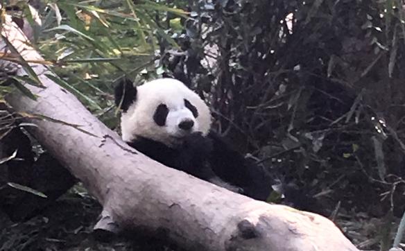 Panda_Chengdu